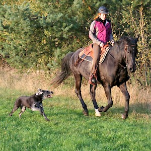 Dog training for horse riding